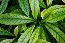 Green Gardenia Jasminoides Lea...