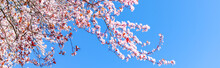 Panoramic Upward View Large Cherry Tree Blooming Flower In Sunny Spring Blue Sky