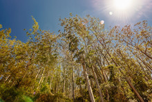 Eucalyptus  Tree Against Blue Sky. (Eucalyptus Globulus)