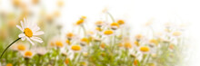 Daisy Field On White Backgroun...