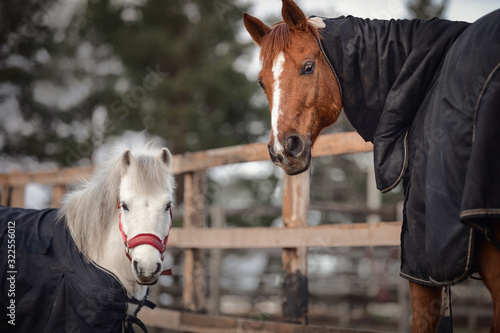 Fotografía portrait of red adult horse and white cute pony in blankets and halters in paddo