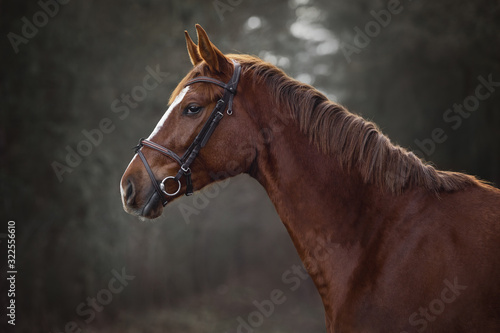 Fototapeta portrait of young red trakehner mare horse in brown bridle on forest background obraz