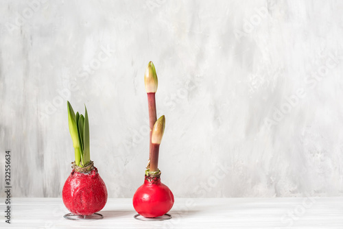 Photo Amaryllis flower bulbs with sprouts and bud on a gray light background