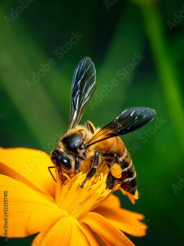 Image of giant honey bee(Apis dorsata) on yellow flower collects nectar Canvas Print