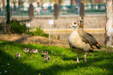 Egyptian Goose Family On Grass...