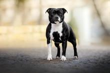 Staffordshire Bull Terrier Dog Lovely Portrait Walk In The Park Magic Light Cute Dog
