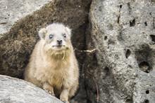Wild Rock Hyrax Found Near Gal...