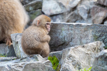 A Japanese Baby Snow Monkey Or...