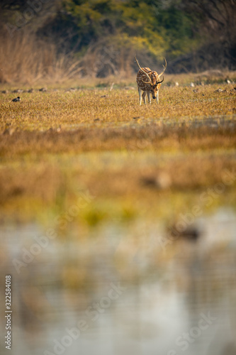 Photo Spotted deer or Chital or Cheetal or axis axis clicked in different perspective