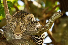 Leopard On Tree, Leopard Port...