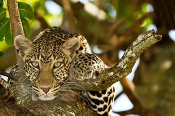 leopard na drvetu, portret leoparda u divljini Afrike