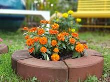 Orange Zinnia Flowers Bloom In...