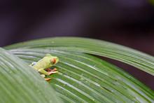 Wild Red-eyed Tree Frog