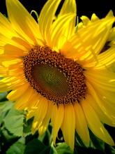 Sunflower On Black Background Of Blue Sky