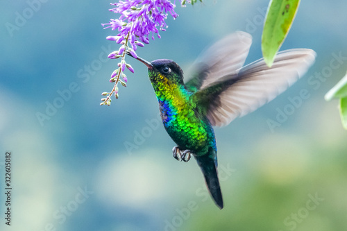 Photo Green Violet-ear (Colibri thalassinus) hummingbird in flight isolated on a green
