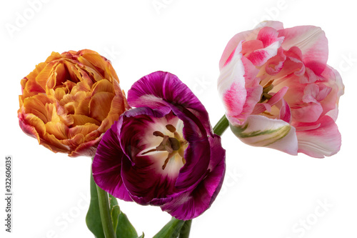 Obraz na plátně Three varicolored tulips isolated on a white background