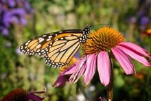 Beautiful Shot Of A Monarch Bu...