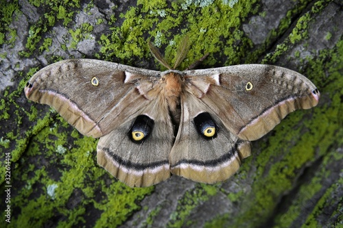 Fotografie, Tablou Beautiful shot of the Polyphemus Moth butterfly resting on a log of an oak tree