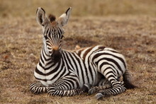 Zebra Foal, Baby Zebra In The Wilderness Of Africa