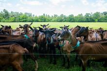 Goat Farm Herd