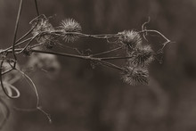 Old Withered Burdock In Winter...