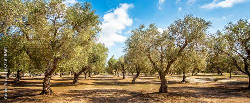 Fotografía Olive plantation at Torre Sant Andrea Puglia Italy