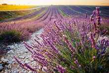 Lavender And Sunflower Fields ...