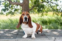 Basset Hound Dog Sits On A Ben...