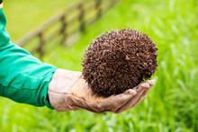 A Farmer Rescues A Hedgehog From A Cattle Grid On A Farm Near Appleby, Cumbria, UK.