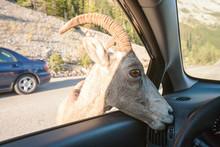 Female Big Horn Sheep (Ovis Ca...