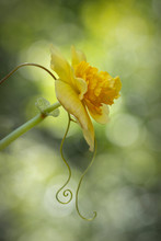 Closeup Of Yellow Double Begonia With Tendrils