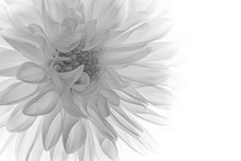 Macro Of Black And White Dahlia
