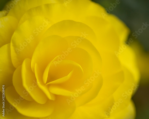 close-up of Yellow double begonia