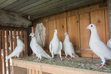 Lots Of White Pigeons In Wooden Dovecot.
