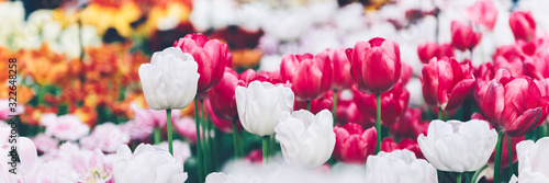 Fototapeta Close up of blooming flowerbeds of blossoming tulips during spring