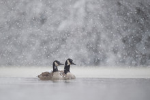 A Pair Of Canada Geese Swim In...