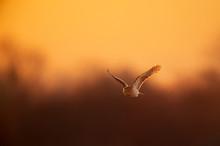 A Coopers Hawk Flies In Front ...