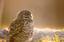 A Florida Burrowing Owl Close-...