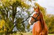 Beautiful brown chestnut horse stallion portrait on autumn nature background.