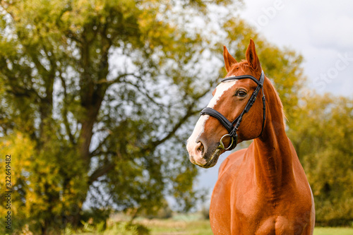 Fototapeta Beautiful brown chestnut horse stallion portrait on autumn nature background. obraz