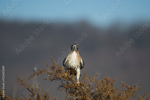 A Red-tailed Hawk perched in a pine tree in the bright sun with a smooth background Canvas Print