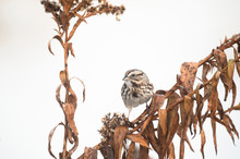 A Song Sparrow Perched On A Br...
