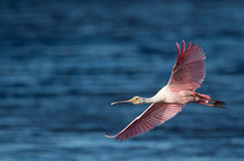 A Bright Pink Roseate Spoonbill Flies Over Bright Blue Water On A Sunny Day.