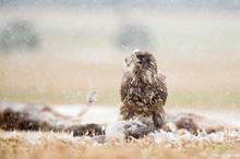 A Juvenile Bald Eagle Stands O...