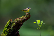 A Kentucky Warbler Perched On ...
