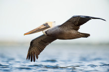 A Brown Pelican Flies Low Over The Water With Its Wings Spread And A Smooth White Background.