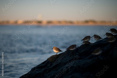 A Dunlin perched on jetty rocks in a spotlight of golden morning sunlight with the ocean in the background Canvas Print
