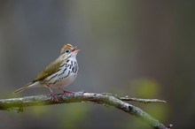 An Ovenbird Sings Out Perched ...
