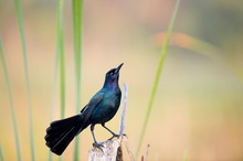 A Male Common Grackle Perched ...