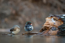 A Pair Of Wood Ducks Perched O...